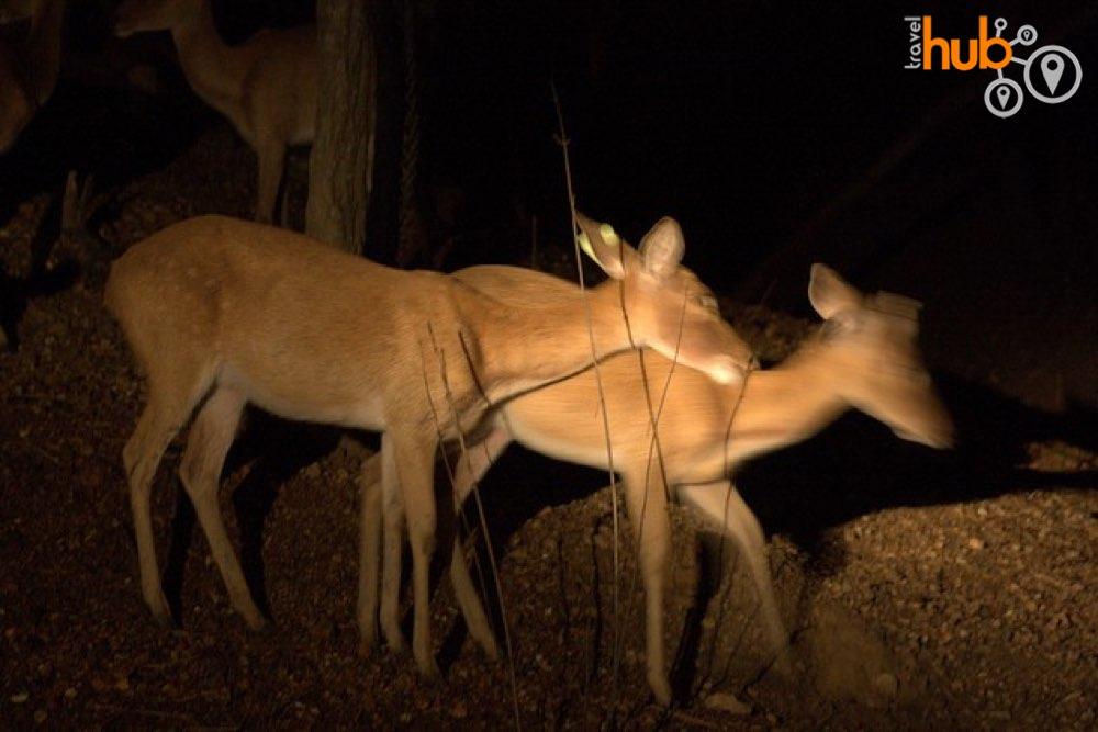 Deer at the Chiang Mai Night Safari