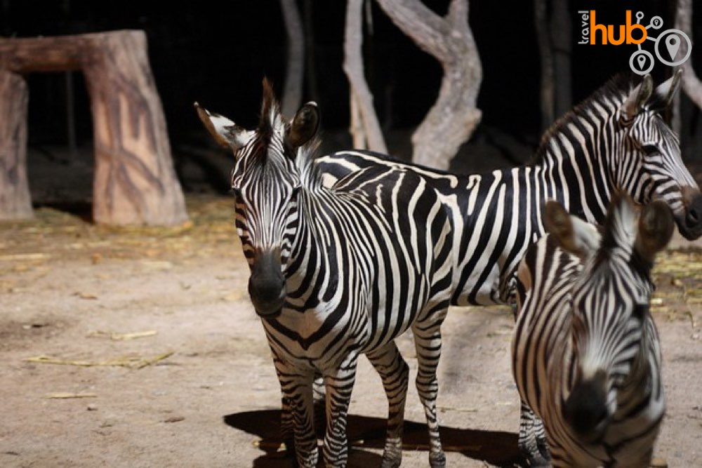 Zebras at Chiang Mai Night Safari
